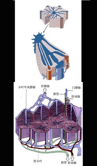 如图所示,关于肝小叶的说法,下列错误的是()图片