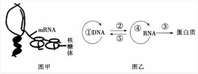 图甲为转录和翻译同时进行的过程,图乙为中心法则图,①~⑤表示生理图片